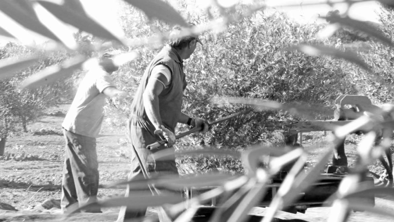 La Universidad de Huelva potenciará la modernización del cultivo del olivo a través del proyecto Tecnolivo